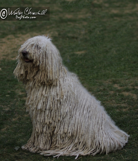 Komondor<br />