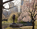Cherry blossoms in the Boston Public Garden, Boston, MA, USA