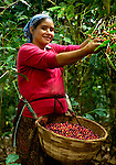 Coffee picker on a coffee farm on the slopes of the Santa Ana Volcano in western El Salvador..(Model & Property Released)
