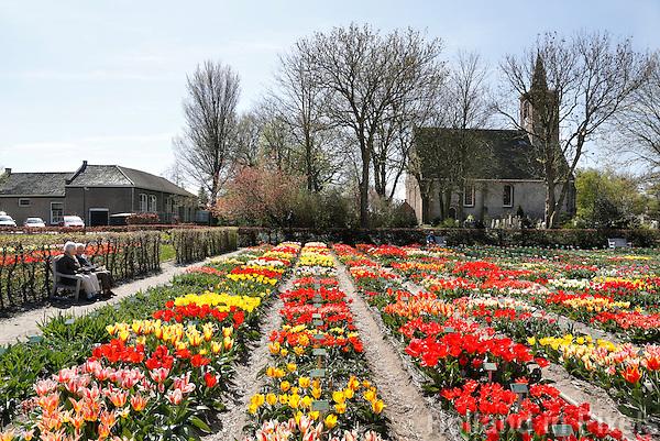 Nederland Limmen 2016 04 21. Hortus Bulborum in Limmen. In de tuin staan meer dan 4000 soorten bloemen. De hortus, waarin voornamelijk tulpen staan, is in 1928 opgericht. De Hortus Bulborum een proeftuin, waar nieuwe soorten worden gekweekt. Op de achtergrond de Protestantse kerk van Limmen. Foto Berlinda van Dam / Hollandse Hoogte