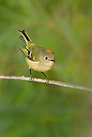 554800016v a wild adult ruby-crowned kinglet regulus calendula perches on a small plant stem flaring its red topknot feathers in the northern mojave desert in califonria