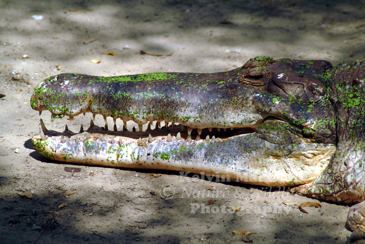 The gharial (Gavialis gangeticus), also called Indian gavial or gavial, is the only surviving member of the once well-represented family Gavialidae, a long-established group of crocodilians with long, slender snouts.