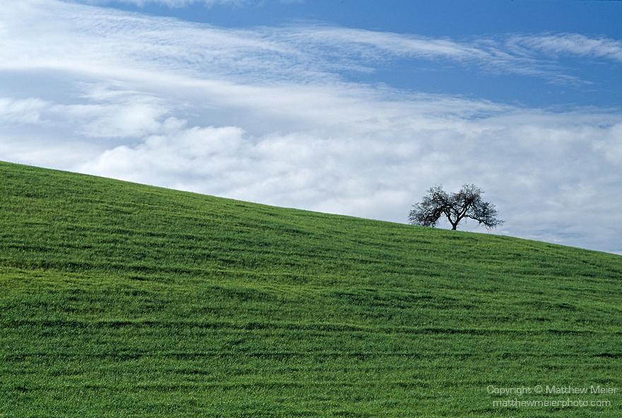 Highway 101, California; lone tree sitting atop a hill of green grass, between Santa Barbara and San Francisco