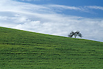 Highway 101, California; lone tree sitting atop a hill of green grass, between Santa Barbara and San Francisco