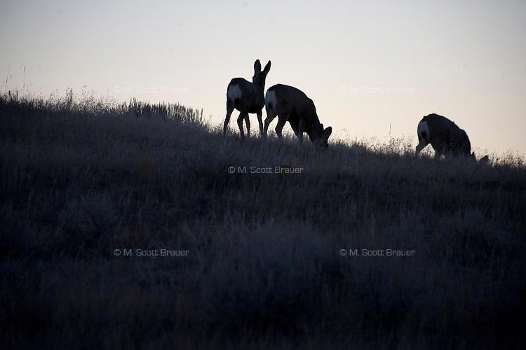 Mule deer graze on the Coffee Ranch near Melstone and Sumatra, Montana, in Rosebud County.