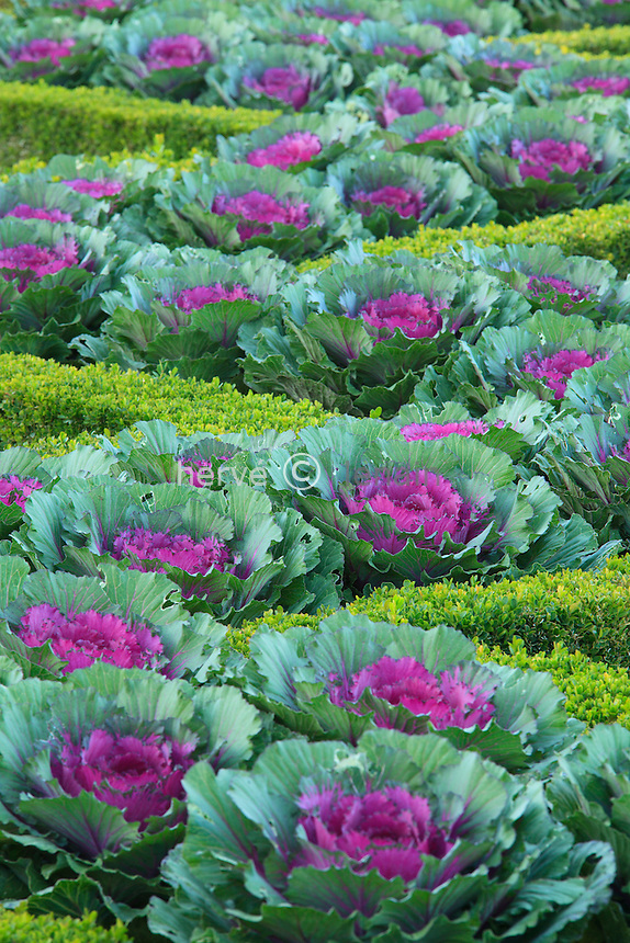 "France, Jardins du château de Villandry, dans le potager traité à la française. Entre les bordures de buis, choux d'ornement 'Pigeon Purple' // France, Gardens of the castle of Villandry, the kitchen garden treated like a ""jardin à la française"", between the box borders, ornamental cabbage 'Purple Pigeon'"