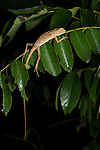 Resting lizard species at night in the Xishuangbanna Tropical Botanic Gardens