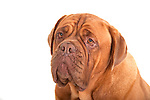 Dog de Bordeaux, portrait, in studio