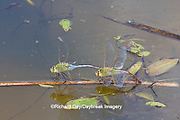 06361-00712 Common Green Darner dragonflies (Anax junius) male & female in tandem, female laying eggs in wetland, Marion Co.  IL