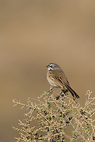 578830026 a wild sage sparrow amphispiza belli nevadensis perches on a sagebrush branch in kern county california