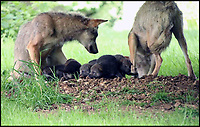 BNPS.co.uk (01202 558833)<br /> Pic: IanTurner/BNPS<br /> <br /> Soggy wolf cub family get moved to a new dry home at Longleat.<br /> <br /> Delighted keepers at Longleat Safari Park are celebrating the arrival of no fewer than seven tiny wolf pups.<br /> <br /> The bumper litter of European wolves, which were born last month, are being carefully looked after by mum Eliska and dad Jango.<br /> <br /> And despite the wet weather the lucky pups have a choice of 3 dens in their enclosure so their protective parents periodically pick the pups up and move them between the underground dens at the Wiltshire safari park.