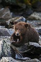 A photo of a grizzly cub sitting on some rocks in Alaska's Katmai National Park. Grizzly Bear or brown bear alaska Alaska Brown bears also known as Costal Grizzlies or grizzly bears