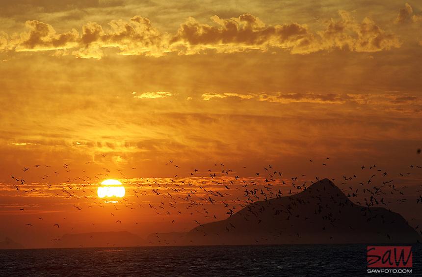SANTA CRUZ ISLAND,CA - OCT. 26, 2007: Birds take flight into the sunrise over Anacapa island, as seen from East Santa Cruz Island Scorpion Anchorage, October 26, 2008.