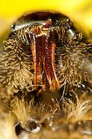 Honigbiene, Mundwerkzeuge, Mundwerkzeug, die Oberkiefer kauen, die Unterkiefer und die Lippentaster bilden ein Saugrohr, bei der Honigbiene bilden Unterkiefer und Unterlippe zusammen ein Saugrohr, Saugrüssel, mit dem die Nahrung aufgenommen werden kann. Im Saugrohr bewegt sich die behaarte Zunge. Sie besitzt am Ende ein Löffelchen, das die Nahrung aufpinselt. Honig-Biene, Biene, Apis mellifera, Apis mellifica, honey bee, hive bee