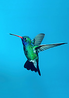 549801013v a wild male broad-billed hummingbird cynanthus latrostis hovers against a blue sky in ramsey canyon in southeast arizona