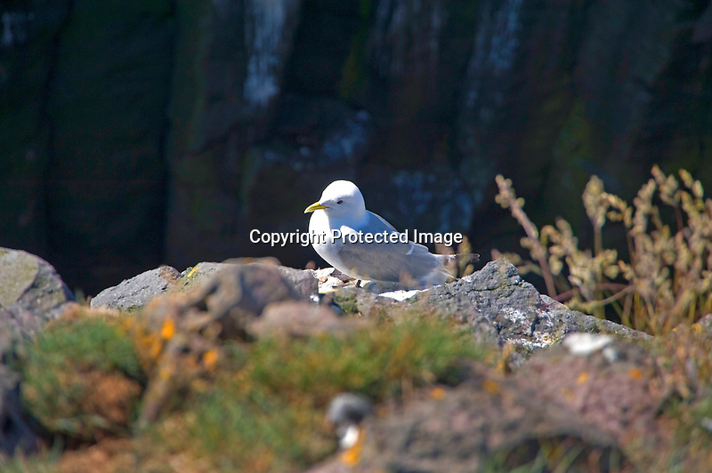 Arctic Tern on Rocks along Hellnar Coast in West Iceland