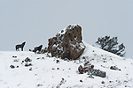 A pair of Gray Wolves owl at Fire Rock in Yellowstone National Park, Wyoming.