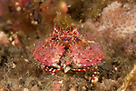 Box crab (Calappa sp.)