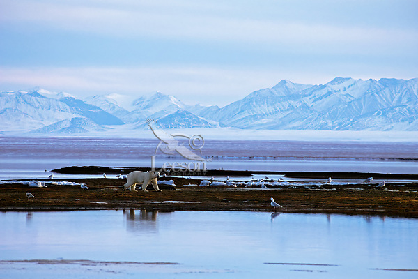 Polar Bear walking along the edge of the Beaufort Sea and the Arctic National Wildlife Refuge, AK.  .October.