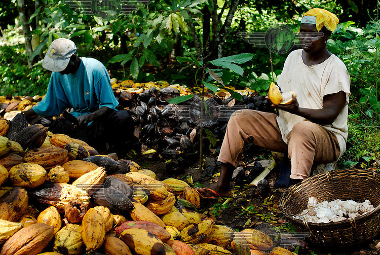 Kuapa Kokoo farmers Mama Kasim and Aseatu Bawa splitting cocoa pods. Kuapa Kokoo is a cocoa farmers' co-operative with 45,000 members spread across the forests of Kumasi. The farmers jointly own a 45 percent stake in the company, which is also a major stakeholder in the London-based fair trade company Divine Chocolate Ltd..