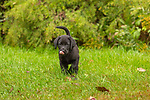 A black Lab puppy running in an autumn backyard.