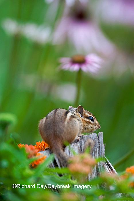 02051-004.03 Eastern Chipmunk (Tamias striatus) in fence post in flower garden, Marion Co., IL