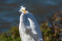 Great Egret, Ardea alba, standing in wind at Colusa National Wildlife Refuge, California