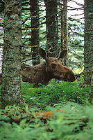 Moose in boreal forest, Cape Breton Highlands National Park, Nova Scotia, Canada