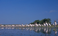Wood Stork, Mycteria americana, adults, Lake Corpus Christi, Texas, USA