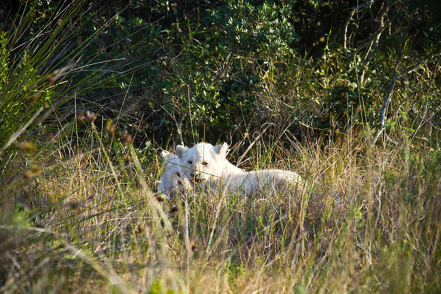 Pumba Game Reserve, Eastern Cape, South Africa. Saturday July 30 2011. Two month old white lion cubs born at Pumba from a white lion and white lioness parents. Pumba Private Game Reserve is the third largest privately owned game reserve in the Eastern cape covering five of the seven African biomes. It is home to the  Africa's Big Five  and the rare White Lion. Photo: joliphotos.comxed >