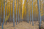 Oregon, North eastern, Boardman. Autumn trees on the Greenwood tree farm