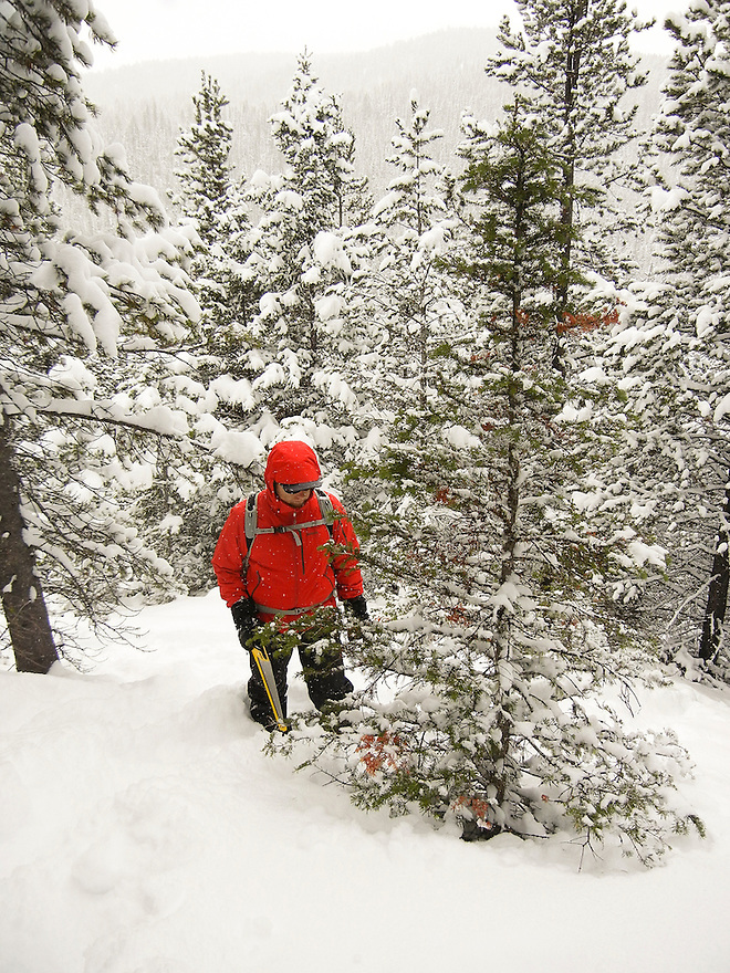 A man harvests a Christmas tree in Hyalite Canyon south of Bozeman, Montana.
