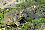 Southwestern Toad (Bufo microscaphus), Southwestern USA.