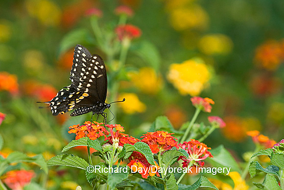 03009-015.20 Black Swallowtail (Papilio polyxenes) male on Red Spread Lantana (Lantana camara) Marion Co.  IL