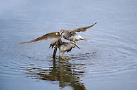 598250011 a pair of male lesser yellowlegs tringa flavipes engage in dominance display and fighting in a small pond on south padre island cameron county texas united states