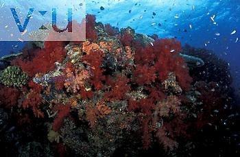 Underwater Fiji coral reef scene with Alcyonarian Corals and schooling Anthias fishes.