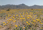 Desert marigolds at Joshua Tree National Park,  4x6 postcard JTNP-S4
