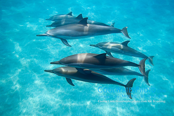 Long-snouted Spinner Dolphins, Stenella longirostris, Ho`okena Beach Park, Kona Coast, Big Island, Hawaii, Pacific Ocean