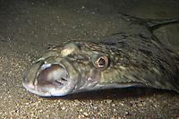 Heilbutt, Heil-Butt, Hippoglossus hippoglossus, Atlantic halibut