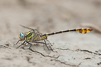 334250007 a wild male tamaulipan clubtail gomphus gonzalezi perches on the ground near the naba site along the rio grande river in the lower rio grande valley in south texas