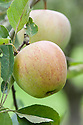 Apple 'Allington Pippin', mid September. An English dual-purpose culinary-dessert apple which can be used initially as for baking (it keeps its shape when cooked) but after a few months in store the flavour mellows to an intense fruit drop or pineapple flavour. Bred by Thomas Laxton in the late 19th century when he was based in Stamford, Lincolnshire. In 1894, the variety was acquired by George Bunyard of Maidstone, Kent, who changed its name from the 'South Lincoln Pippin' to the 'Allington Pippin' after his Allington Nurseries.