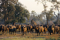 African cape buffalo (Syncerus caffer) herd, Mana Pools National Park, Zimbabwe.  Early morning in mopane woodland.  Note: This is one of the few time this photographer has felt he was in danger.  This photo was taken on foot several miles from a vehicle.