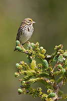 Savannah sparrow, Katmai National Park, southwest, Alaska.