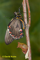 1021-0804  Polydamas swallowtail Recently Emerged from Chrysalis (Life Cycle Series), Battus polydamus  © David Kuhn/Dwight Kuhn Photography.