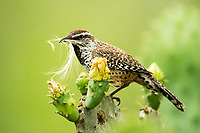 Song Birds, ducks, cranes, quail