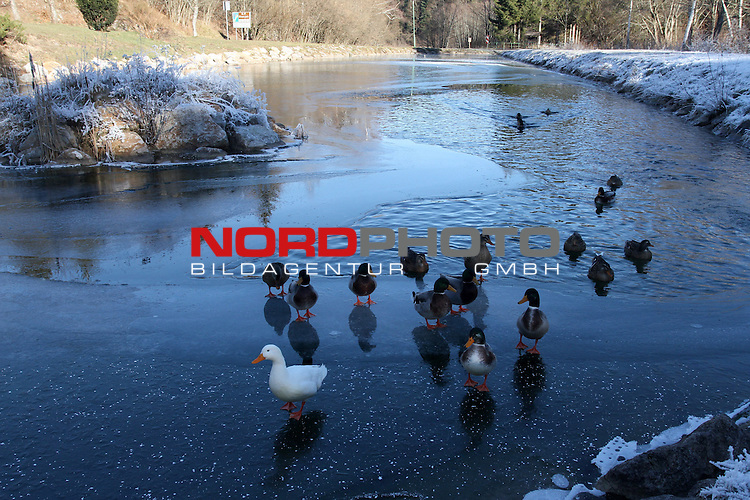 18.12.2013. Crni lug, Croatia - A flock of wild ducks has established itself on a small icy pond at the entrance to the National Park Risnjak in Gorski Kotar.<br /> <br /> Foto &not;&copy;  nordphoto / PIXSELL / Goran Kovacic