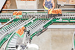 August 22, 2016. Wilson, North Carolina<br />  Boxes of sweet potatoes are checked for quality in the packing house of Vick Family Farms. <br /> Vick Family Farms uses Greenlight provided broadband to monitor its tobacco drying barns as well as run its large sweet potato operation. If they lose the network due to recent legal suits brought by the telecom industry on the city of Wilson, who provides the fiber optic broadband, they may be unable to run the business with near the level of efficiency.<br />  Greenlight Community Broadband is a fiber optic internet service provider owned by the city of Wilson, NC. Popular with residents for its reliability and speed, the city started offering the service to towns outside of its municipal limits before a court case brought by the telecom industry took away the city's ability to expand beyond its borders. Several businesses and residents who have come to rely on the utility fear for their livelihoods if the service is discontinued.