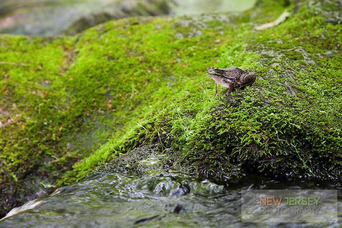 Green Frog, Flatbrook River, Delaware Water Gap, New Jersey