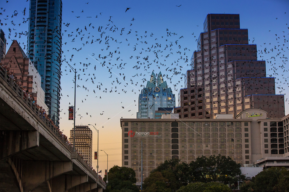 March heralds the return of the Congress Avenue bats in Austin. From March through April thousands of mostly female, pregnant Mexican free-tailed bats migrate North to give birth. And they stay through the spring, summer, and early fall.