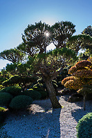 A peaceful scene at the Japanese Garden featuring a tree with sunburst in its branches, surrounded by neatly trimmed smaller trees and bushes.